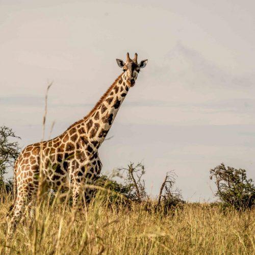 Giraffe Oeganda