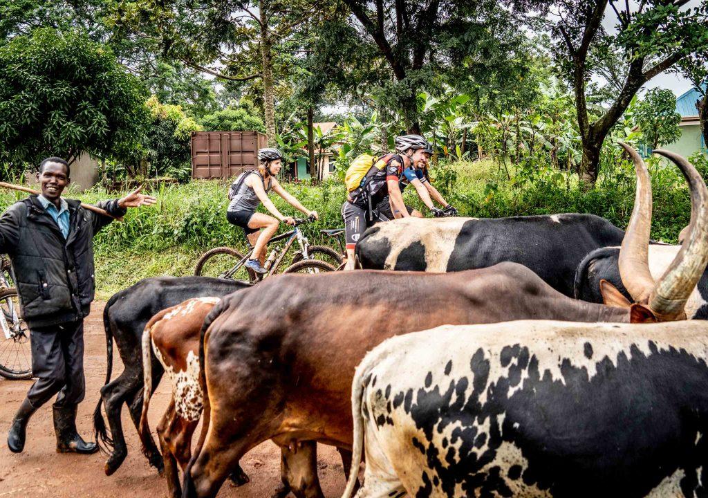 Koeien Oeganda